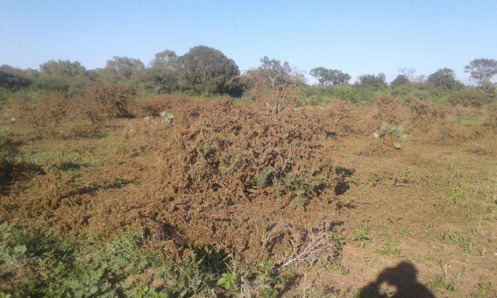 El Comité de plaga afirma que la presencia de una manga de langostas aun está latente en la localidad de El Galpón.