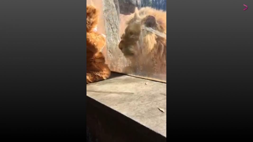 ¿Qué hará este león al ver a un bebé disfrazado como él?
