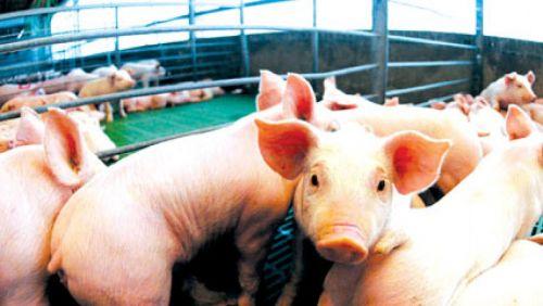 Estados Unidos, el principal exportador mundial de carne de cerdo, ingresará al mercado argentino y pondrá en riesgo a miles de trabajadores.