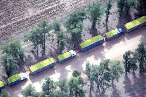 Un caravana de camiones cargados con limones que se exportan para una multinacional de gaseosas.