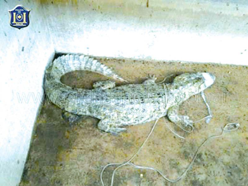 El reptil autóctono había caído a un piletón de la localidad de El Bordo.