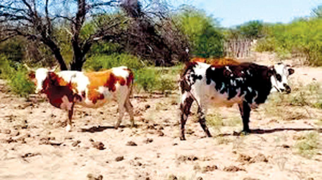 Un homicidio en Anta ocurrió por una disputa de reses de ganado criollo.