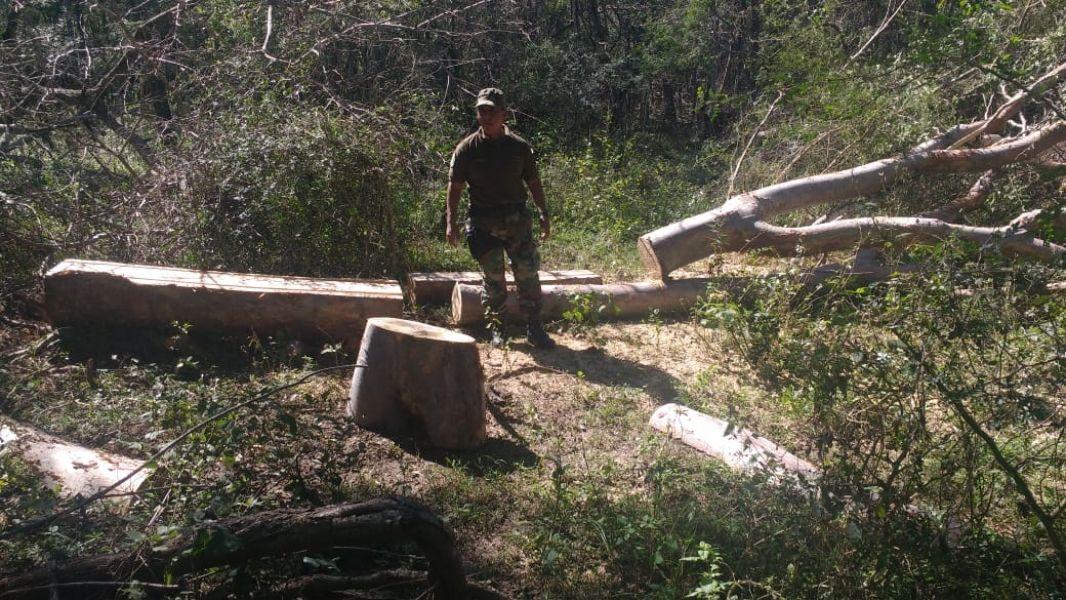 La tala incluyó a especies de roble, cebil, urundel, entre otros.