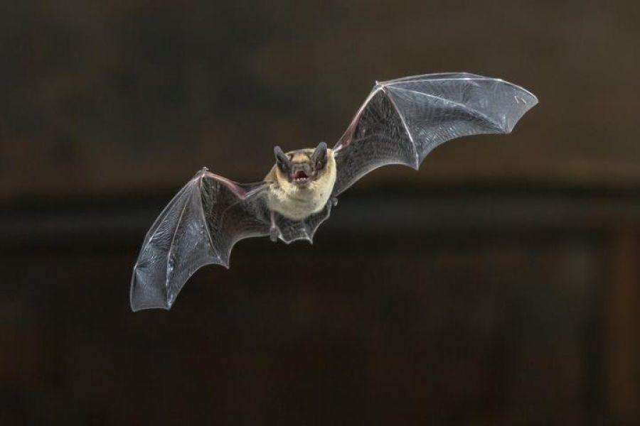 La provincia de Saltatiene aproximadamente 39 de las 65 especies de murciélagos que existen en la Argentina.