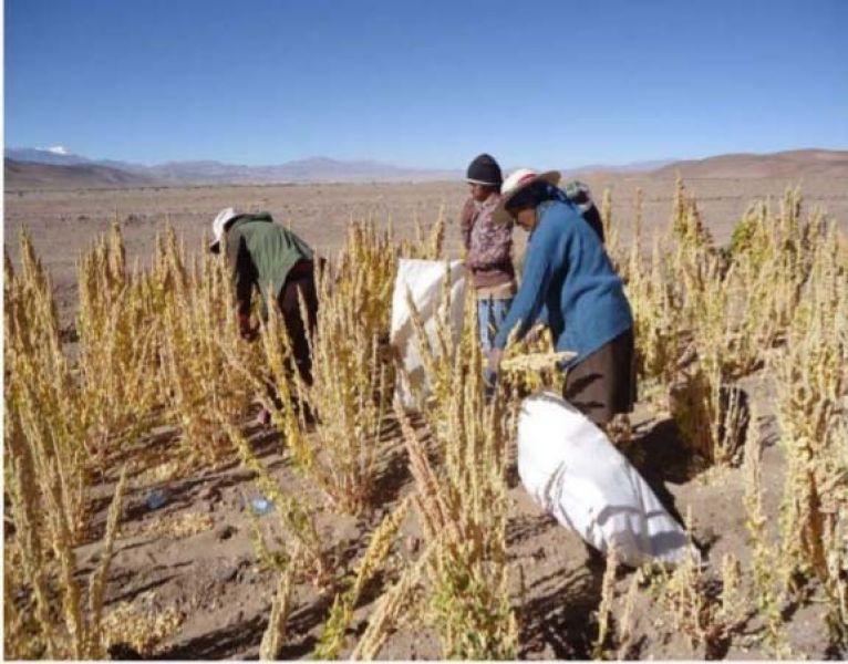 La cooperativa Quewar de la puna salteña este año cosechará 2 mil kilos que se venderán en Buenos Aires.