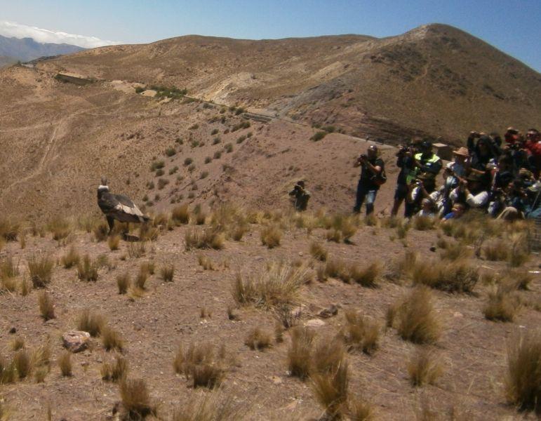 """El cóndor hembra """"Qespisqan"""", en el momento de su liberación, se fue caminando hasta y luego de una horas alzó vuelo entre los cerros de Cachi."""