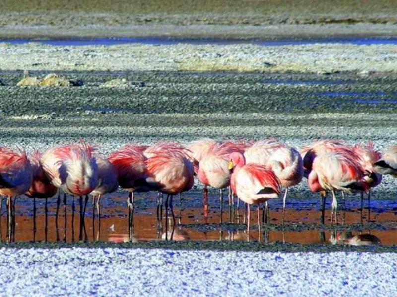 El censo de flamencos rosados de la Puna Salteña comenzará el 5 de febrero.